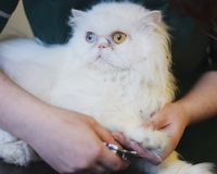 Персидский кот имея когти уравновешенные на ветеринарах стоковое фото rf