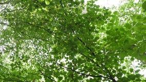 Перспектива Steadicam POV смотря прямо вверх по на деревьям в лесе пока идущ акции видеоматериалы