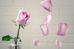 Пинк поднял в вазу с падая лепестками на фоне белой стены Нежность, хрупкость, одиночество, романская концепция стоковое фото rf