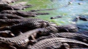 Питаясь крокодилы на ферме крокодила видеоматериал