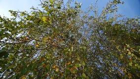 План снизу на ветвях дерева вися вниз Природа бобра видеоматериал