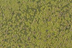 Плющ плавая в пруд, деталь фото аквариумных растени стоковая фотография rf