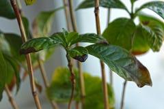 Пятна Брауна на листьях Arabica кофе стоковые изображения rf
