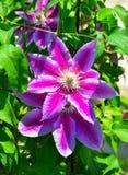 Пурпурные цветки пассифлоры стоковые изображения rf