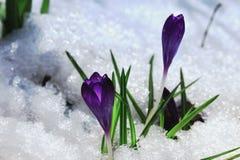 Пурпурный снег весны стоковые фото