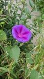 Пурпурный цветок зацветая весной и лето стоковое изображение