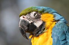 Птица ары - синь и золото стоковые фотографии rf