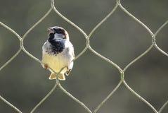птица воробья садясь на насест в одной из петель высокорослой проволочной изгороди в солнечности стоковое изображение