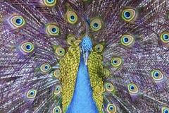 Птица павлина стоковое фото