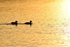 Птицы на реке под солнцем royalty free stock photo