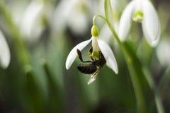 Пчела в snowdrop - цветках предыдущего конца-вверх весны белых и питаясь пчеле, макросе стоковые фото