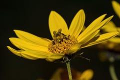 Пчела, желтый солнцецвет цветка и черная предпосылка стоковые фотографии rf