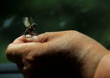 Пчела; пчела стоковые изображения