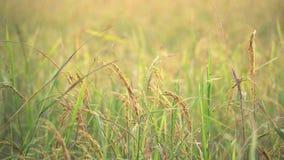 Пребывание риса все еще с медленно ветром в рисовых полях Таиланд акции видеоматериалы