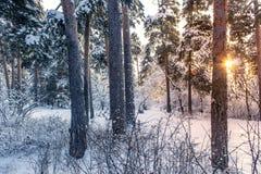 Предпосылка захода солнца лесных деревьев снега зимы Красный заход солнца в сцене лесных деревьев снега зимы стоковая фотография rf