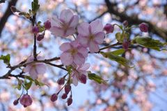 Предпосылка природы ветви Сакуры цветка пинка вишневого цвета Японии конца-вверх стоковое изображение