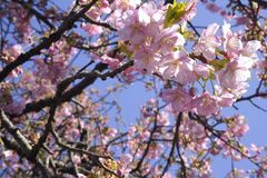 Предпосылка природы ветви Сакуры цветка пинка вишневого цвета Японии конца-вверх стоковые изображения