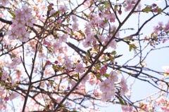 Предпосылка природы ветви Сакуры цветка пинка вишневого цвета Японии конца-вверх стоковая фотография