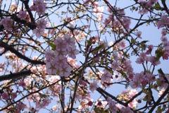 Предпосылка природы ветви Сакуры цветка пинка вишневого цвета Японии конца-вверх стоковые фотографии rf