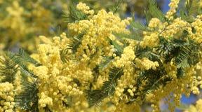 предпосылка с много желтых цветков мимозы зацвела в марте стоковое фото rf