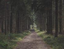 Прогулка леса через высокорослые прямые сосны стоковые фото