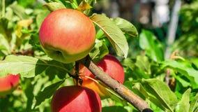 Просигнальте внутри на красных яблоках сток-видео