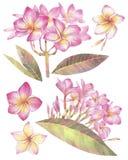 Покрашенная рукой иллюстрация акварели Флористический набор с цветками plumeria экзотические цветки тропические бесплатная иллюстрация