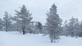 покрытые валы снежка сосенки стоковое изображение