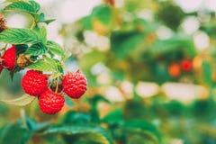 Поленика Поленики Растущие органические ягоды стоковое изображение rf