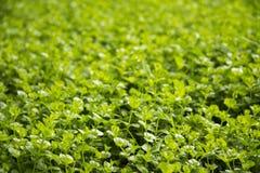Поле зеленого клевера - день St. Patrick стоковое изображение rf