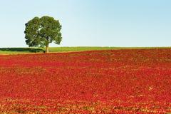 поле красного клевера Экземпляр-космоса и уединенное дерево стоковое изображение