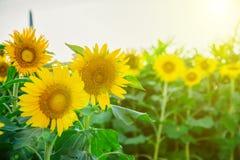 Поле много солнцецветов в зеленых листьях Цветы лета стоковые фотографии rf