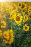 поле подсолнечника в солнечных лучах. Sunflower in the rays of the setting sun. Agriculture. Field of blooming sunflowers Stock Photography
