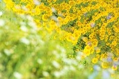 Поле солнцецвета - перепад Дунай, Tulcea, Roumanie стоковая фотография