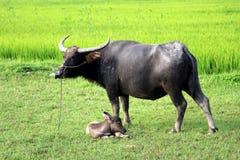 Поля риса около Hoi с индийским буйволом - Вьетнамом Азией стоковая фотография rf