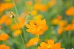 Поля солнцецветов теперь общее стоковая фотография
