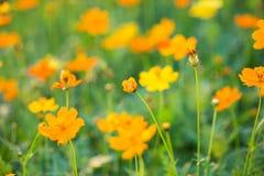 Поля солнцецветов теперь общее стоковое изображение