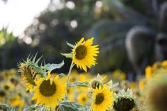 Поля солнцецветов теперь общее стоковое фото rf