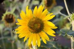 Поля солнцецветов теперь общее стоковое фото