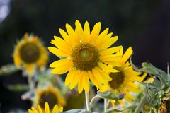 Поля солнцецветов теперь общее стоковые изображения
