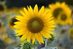 Поля солнцецветов теперь общее стоковое изображение rf