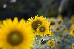 Поля солнцецветов теперь общее стоковые фото