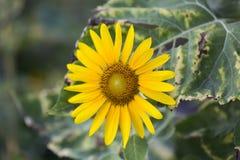 Поля солнцецветов теперь общее стоковая фотография rf