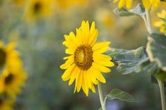 Поля солнцецветов теперь общее стоковые изображения rf