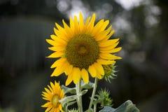 Поля солнцецветов теперь общее стоковые фотографии rf