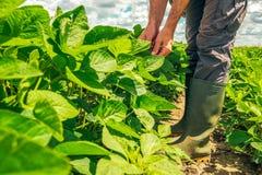 Положение наемного сельскохозяйственного рабочего в поле сои стоковая фотография