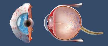 Поперечное сечение человеческого глаза во взгляде со стороны и прифронтовом взгляде стоковое изображение rf