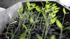 Поперчите саженцы, молодую листву перца, саженцев весны Перец ростков стоковое фото