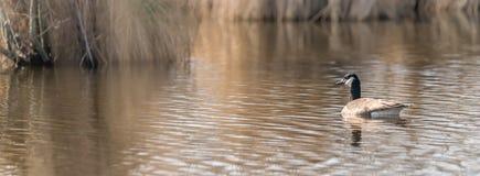 Поплавки гусыни Канады перед коричневым тростником со множеством космоса текста на спокойном озере стоковая фотография