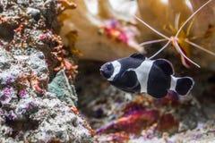 Популярные но редкие черно-белые соединенные рыбы клоуна, тропические рыбы что только жизни в области Дарвина Австралии стоковая фотография rf